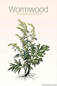 Wormwood herb Artemisia absinthium
