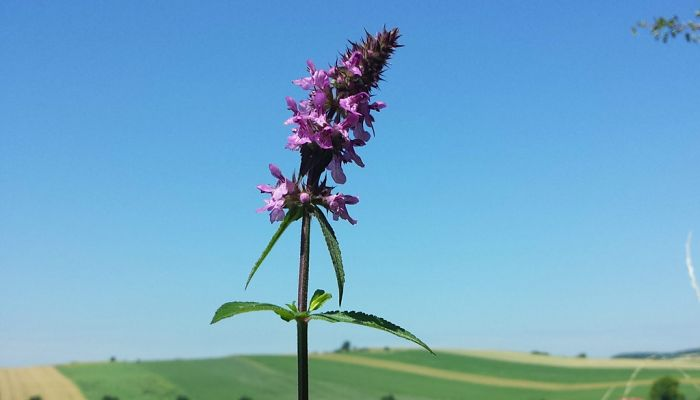 marsh woundwort herb