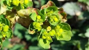sun spurge herb flower