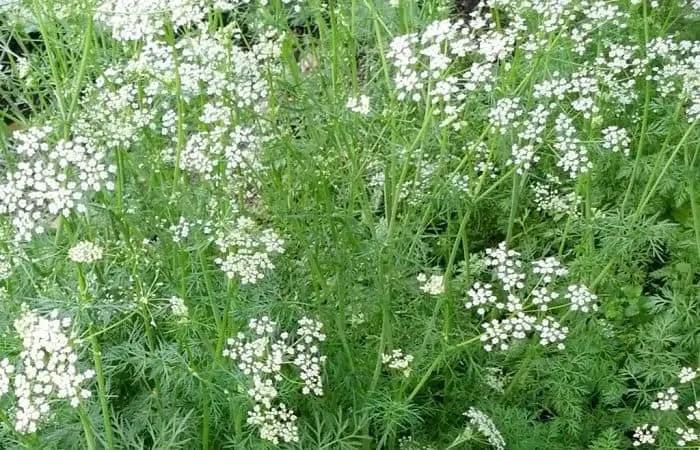 cumin medicinal herb