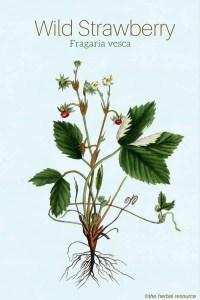 wild strawberry Fragaria vesca