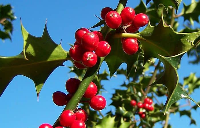 Holly Herb Uses Health Benefits Toxicity And Side Effects