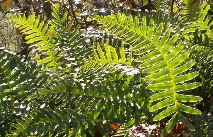polypody herb