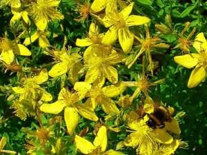 Growing St.  John's Wort (Hypericum perforatum)