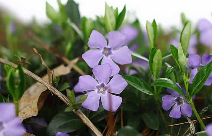 Lesser Periwinkle - Medicinal Uses and Benefits