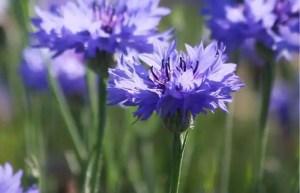 cornflower herb