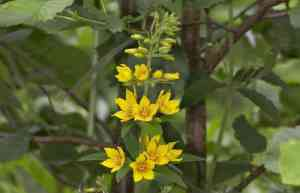 Yellow loosestrife herb