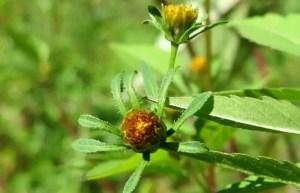 Trifid Bur Marigold herb