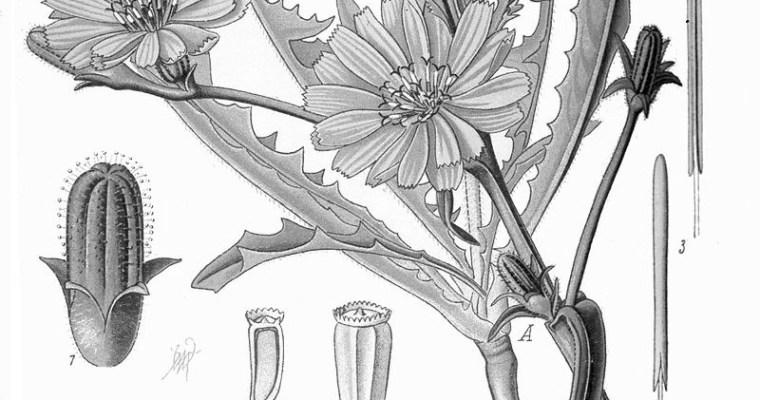 Chicory Stout