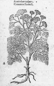 woodcut of common fennel from Gerard's Herbal of 1633