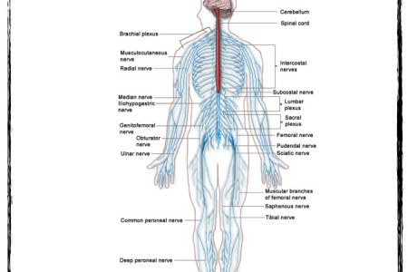 Autonomic nervous system diagram autonomic nervous system path anaesthesia uk autonomic nervous system structure of the autonomic nervous system diagram of autonomic nervous system experiment activate your diagram of ccuart Choice Image