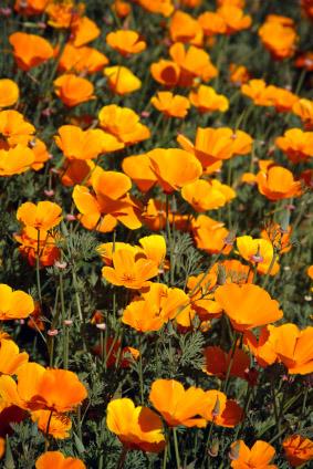 Sleep Herbs: Valerian Root and California Poppy