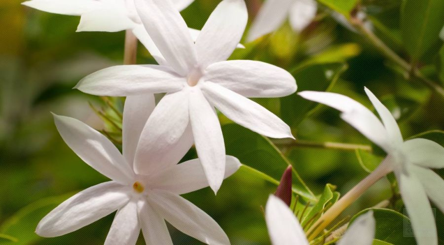 Jasmine Flower History and Jasmine Flower Medicinal Uses Jasmine flower