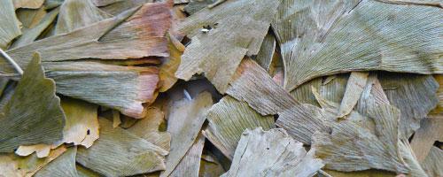 feuilles de ginkgo