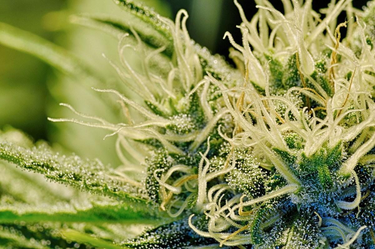 high cbd seeds selection best strains
