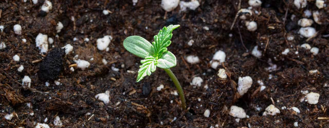 cannabis-seedling-in-soil