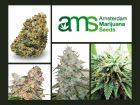 Amsterdam Marijuana Seeds Review