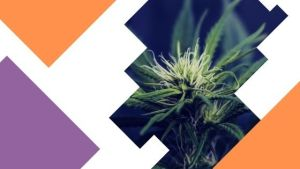 ways to increase thc when growing cannabis