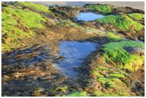 fucus propiedades y beneficios para la salud de está alga marina