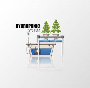 Hydroponic Marijuana
