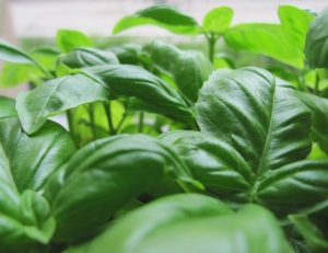 A tip for looking after your Basil Bush