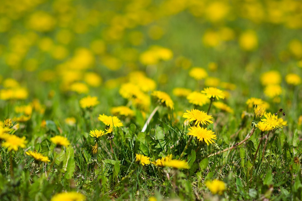Foraging and wildcrafting - Dandelion field