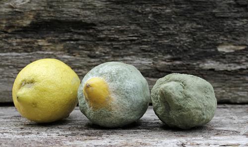 Mold on lemons: TwilightArtPictures/Shutterstock.com