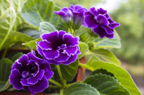 12 Top Flowering Houseplants For Easy Care Blooms Indoors Here