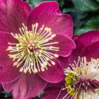 The Best Hellebore Varieties For Your Winter/Spring Garden