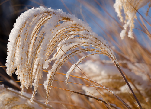 snow on ornamental grass