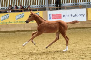 Filly foal Florouche JT attained an elite premium in 2015. Photo by Kevin Sparrow