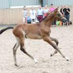 British Breeding Announces 2019 Futurity Plans