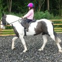 Super friendly fun coloured cob 15hh