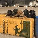 Beautiful KC registered black Labrador puppies