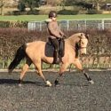 Ashwey Laurisdun 14.1hh, 6 year old, Dun, Gelding