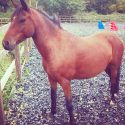 12.2hh Welsh Pony - for full loan