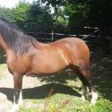 Attractive Show Quality Welsh pony for Sale