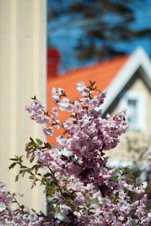 Japanska körsbärsblommor intill ett egnahemshus.
