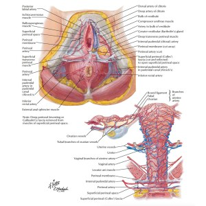 Arteries and Veins of the Female Anatomy