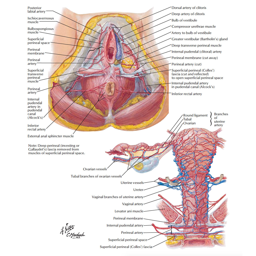 Female Anatomy: The Functions of the Female Organs - HERS Foundation