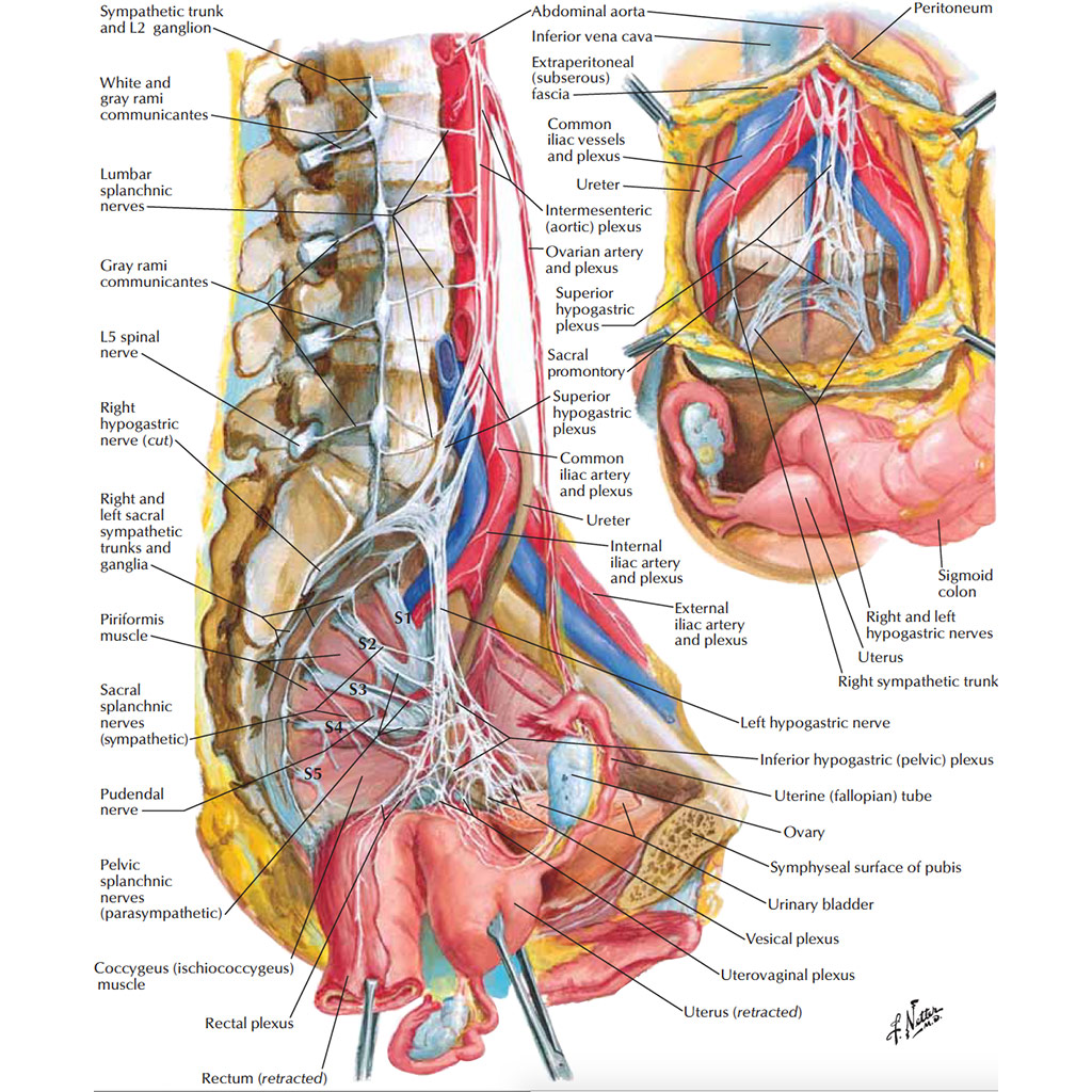 Female Anatomy The Functions Of The Female Organs Hers Foundation