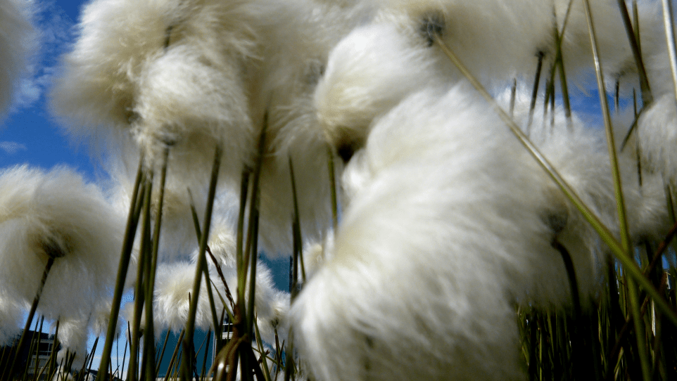 Closeup of Cotton Grass