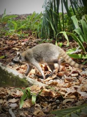 Raccoon at Cahuita by hesaidorshesaid