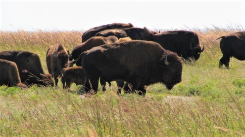 Bison at Tallgrass Prairie (credit: NPS)