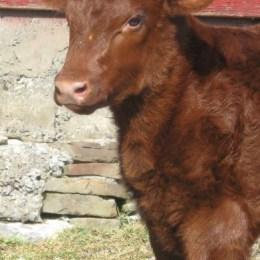 beef-calf