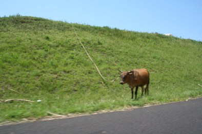 Cattle grazing next to the N2 freeway