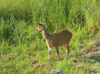Bushbuck ewe in the grass on the hilltop