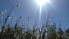 Sugar cane plumes-5