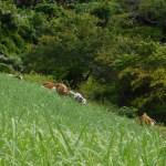 Nguni cattle in a sugar cane field