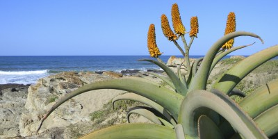 Aloe in Sea Park, KwaZulu-Natal